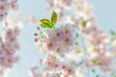 Piovuto appena sopra Fondo della primavera con il fiore di ciliegia, fioritura di sakura nei precedenti del cielo blu Immagine Stock