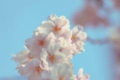 Piovuto appena sopra Fondo della primavera con il fiore di ciliegia, fioritura di sakura nei precedenti del cielo blu Fotografie Stock