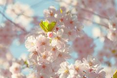 Piovuto appena sopra Fondo della primavera con il fiore di ciliegia, fioritura di sakura nei precedenti del cielo blu Fotografia Stock Libera da Diritti