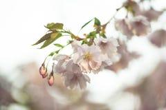 Piovuto appena sopra Fondo della primavera con il fiore di ciliegia, fioritura di sakura nei precedenti del cielo blu Immagini Stock