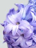 Piovuto appena sopra Giacinto violetto-chiaro contro fotografia stock