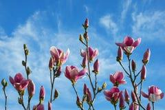 Piovuto appena sopra Rami dell'albero di fioritura della magnolia contro cielo blu fotografie stock libere da diritti