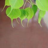 年轻pipal叶子 背景绿色叶子 天然泉场面 免版税库存图片