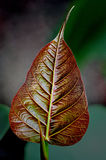 Pipal. Baby red pipal leaf Stock Photography