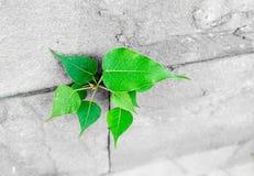 Pipal blad som växer till och med sprickan i gammal sandstenvägg, överlevnad Arkivbild