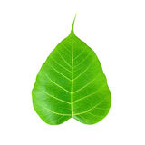 Pipal or Bo leaf Royalty Free Stock Images