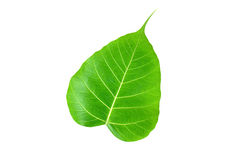 Pipal or Bo leaf Royalty Free Stock Photos