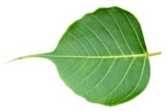Pipal-Grünblatt auf weißem Hintergrund stockbilder