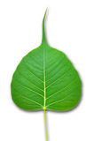 Pipal green leaf  on white Royalty Free Stock Photos