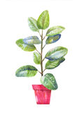Pipal illustration. Pipal in a pot. Potted pipal in watercolor Stock Images
