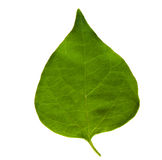 Pipal leaf Royalty Free Stock Image