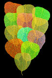 Pipal leaf colorful. On black color background Stock Photos
