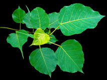 Pipal leaf. Green color on black color background Royalty Free Stock Photos