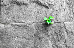 Pipal leaf growing through crack in old sand stone wall, surviva Stock Photography