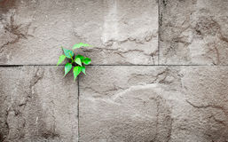 Pipal leaf growing through crack in old sand stone wall,survival. Concept Royalty Free Stock Image
