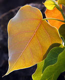 Pipal Leafs Arkivfoton
