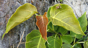 Pipal leafs Stock Photo