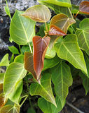 Pipal leafs Stock Image