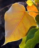 Pipal liście Zdjęcia Stock