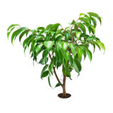 Pipal. Little tree ficus isolated on white background Stock Photos