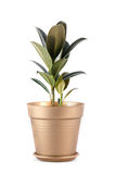 Pipal in a pot Royalty Free Stock Images