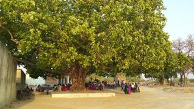 Pipal tree. In an Indian marriage Royalty Free Stock Photography