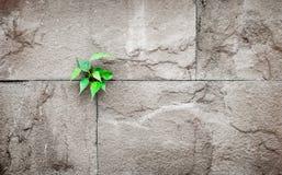 Pipalblad het groeien door barst in de oude muur van de zandsteen, overleving royalty-vrije stock afbeelding