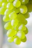 Pipe white grape bunch Stock Photo