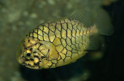 Pipeapple fish. Pieapple fish found in deep water Stock Photos