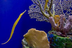 Pipefish аллигатора Стоковая Фотография