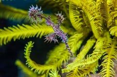 pipefish привидения Стоковое Изображение RF