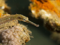 Pipefish photos stock