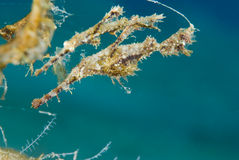 Pipefish borroso del fantasma (SP de Solenostomus) Imagen de archivo libre de regalías