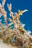 Pipefish borroso del fantasma (SP de Solenostomus) Imágenes de archivo libres de regalías