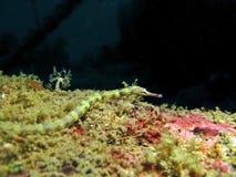 Pipefish de réseau - Photo stock