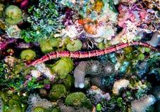 Pipefish de Shortfin Imagen de archivo libre de regalías