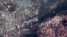 Pipefish halicampus underwater in ocean of wildlife Philippines. Travel in world of unique colorful beautiful ecosystem nature coral, algae, fish. Inhabitants stock video footage