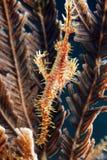 pipefish harlequin привидения Стоковые Изображения RF