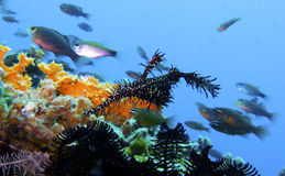 Pipefish preto raro de Ghost, recife de corais, Leyte, Filipinas Imagens de Stock Royalty Free