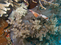 Pipefish robusto del fantasma Fotografia Stock