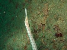 Pipefish subacuático Fotos de archivo