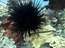 Pipefish tropical pequeno com o diabrete de mar em Coral Under Water imagens de stock