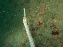 Pipefish Unterwasser Stockfotos