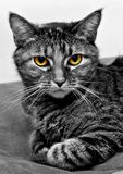 Piper. Black and white photo of a tabby cat with yellow eyes Stock Photos