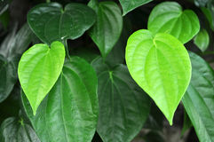 Piper Betel Leaf Stock Photos