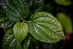 Piper betle leaf close up. Shot royalty free stock images