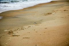 Piper Bird at the Beach Royalty Free Stock Photo