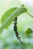 Piper nigrum. Close-up of fresh piper nigrum Stock Images