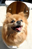 Piper on the Pot. Piper the Pomeranian sits on the toilet at a garage sale Royalty Free Stock Photos