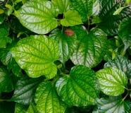 Piper sarmentosum plants. At the Singapore Botanic Garden Stock Image